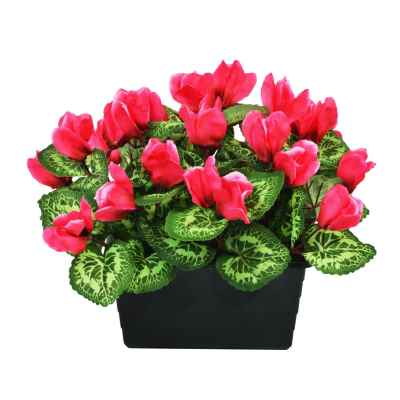 27CM CYCLAMEN X 28 TROUGH