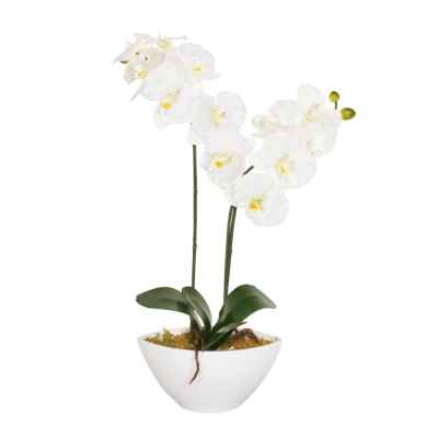 50CM CREAM ORCHID X 2 IN OVAL POT