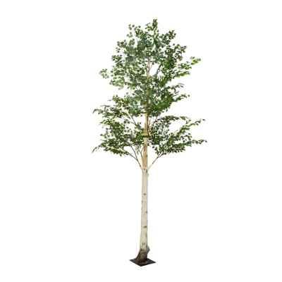 400CM BIRCH TREE